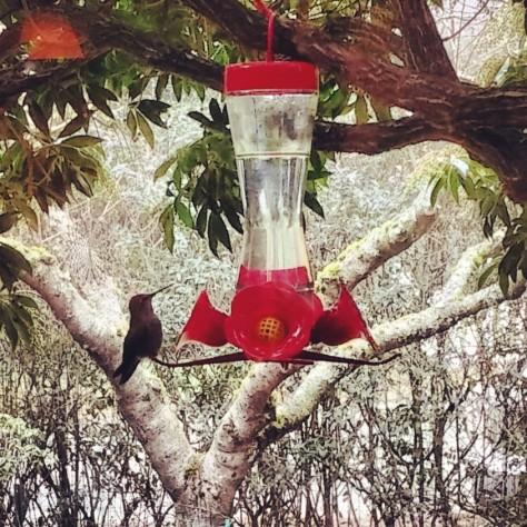 Anna's hummingbird outside my window.